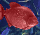 The Dream of the Red and Blue Fish