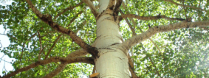 The Trunk and The Branches